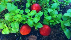 3 morangos entre a manjericão fresca Fotos de Stock Royalty Free
