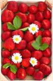 Morangos frescas com flores da margarida Imagens de Stock