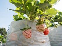 Morangos maduras e verdes que crescem na exploração agrícola Imagens de Stock