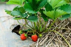 Morangos maduras frescas da plantação na exploração agrícola Fotografia de Stock Royalty Free