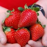 Morangos maduras frescas nas mãos de uma criança Imagem de Stock Royalty Free