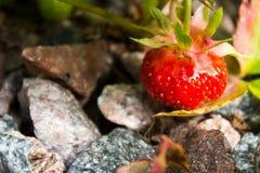 Morangos no jardim Imagem de Stock