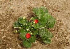Morangos no jardim Fotografia de Stock Royalty Free