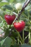 Morangos no ramo. Imagem de Stock