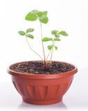 Morangos novas do sprout fotografia de stock royalty free