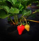 Morangos que crescem comercialmente Imagem de Stock Royalty Free