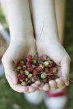 Morangos silvestres nas mãos da criança Imagens de Stock Royalty Free