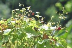Morangos silvestres no plano imagem de stock royalty free