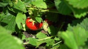 Morangos vermelhas em um ramo entre as folhas Imagem de Stock