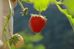 Morangos vermelhas frescas Imagens de Stock Royalty Free