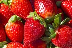 Morangos vermelhas maduras vermelhas e suculentas Fotos de Stock Royalty Free