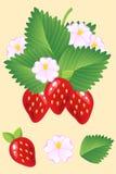 Morangos vermelhas suculentas maduras com folhas e flores Vetor Fotos de Stock