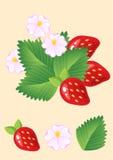 Morangos vermelhas suculentas maduras com folhas e flores Vetor Imagens de Stock
