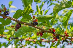Moras rojas y negras en una rama - fotografía macra imagen de archivo libre de regalías