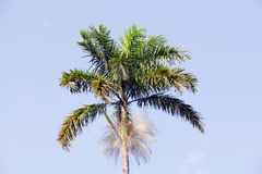 Morass Cabbage Palm, Roystonea Princeps Stock Photo