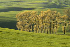 Moravian fields. Alley of trees in Moravian Tuscany Royalty Free Stock Photo