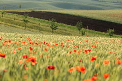 Moravian fields. Line of trees on a field full of poppies Stock Photos