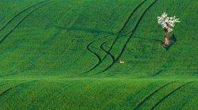 Moravian-Grün-Rollen-Landschaft mit Apfelbaum und Rotwild Landschaft mit weißem blühendem Baum und kleinen Rotwild auf dem grünen Stockfoto
