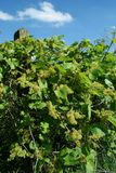 Moravian vineyard (CZ) Stock Images