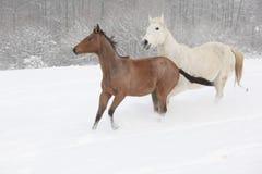 2 moravian warmbloods бежать в зиме Стоковая Фотография RF