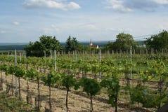 Moravian Wineyard en el resorte Foto de archivo