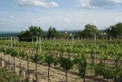 Moravian Wineyard in the Spring Stock Photo