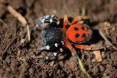 Moravicus d'Eresus d'araignée - mâle Photographie stock libre de droits
