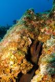 Morayål, Baja rever. Arkivbilder