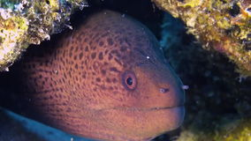 Morayål i korallrev Slut som skjutas upp Maldiverna stock video