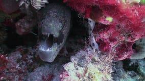 Morayål i korallrev Slut som skjutas upp Maldiverna arkivfilmer
