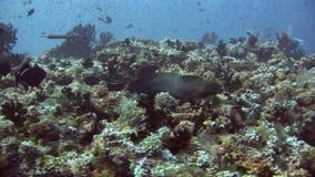 Morayål på bakgrundskorall som är undervattens- i havet av Maldiverna lager videofilmer