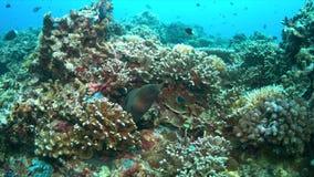 Morayål på en färgrik korallrev lager videofilmer