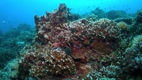 Morayål på en färgrik korallrev stock video