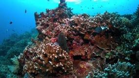 Morayål på en färgrik korallrev arkivfilmer