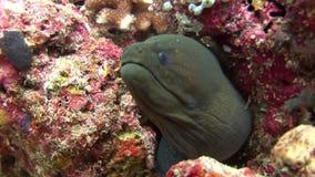 Morayål på färgrik korall för bakgrund som är undervattens- i havet av Maldiverna stock video
