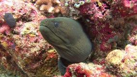 Morayål på färgrik korall för bakgrund som är undervattens- i havet av Maldiverna lager videofilmer