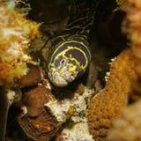 Moray κεφάλι χελιών αλυσίδων υποβρύχιο που κρύβει σε μια τρύπα Στοκ Φωτογραφία