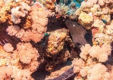 Moray μεταξύ του ρόδινου κοραλλιού Στοκ εικόνα με δικαίωμα ελεύθερης χρήσης
