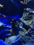 moray χέλι στη δεξαμενή ψαριών στο ενυδρείο σε Σινγκαπούρη Στοκ Φωτογραφία