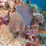Moray Stock Image