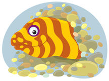 Moray. Vector clip-art illustration of a marine moray eel looking out of a burrow Royalty Free Stock Photos