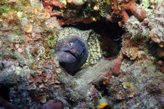 Moray Photos libres de droits