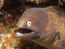 moray Royaltyfria Foton