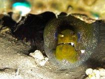 Moray-Aal, der unter einem Felsen sich versteckt Stockbild