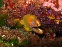 Moray amarillo en coral púrpura imagen de archivo