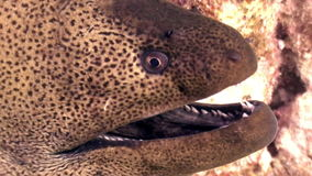 Moray close up underwater on background marine landscape in Red sea. stock footage