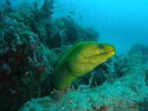 moray d'anguille photos libres de droits