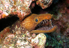 Moray de Fangtooth - Îles Canaries Photo stock