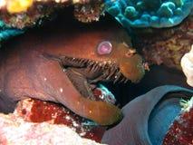 Moray de la víbora Foto de archivo