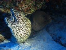 Moray in de Maldiven Royalty-vrije Stock Afbeeldingen